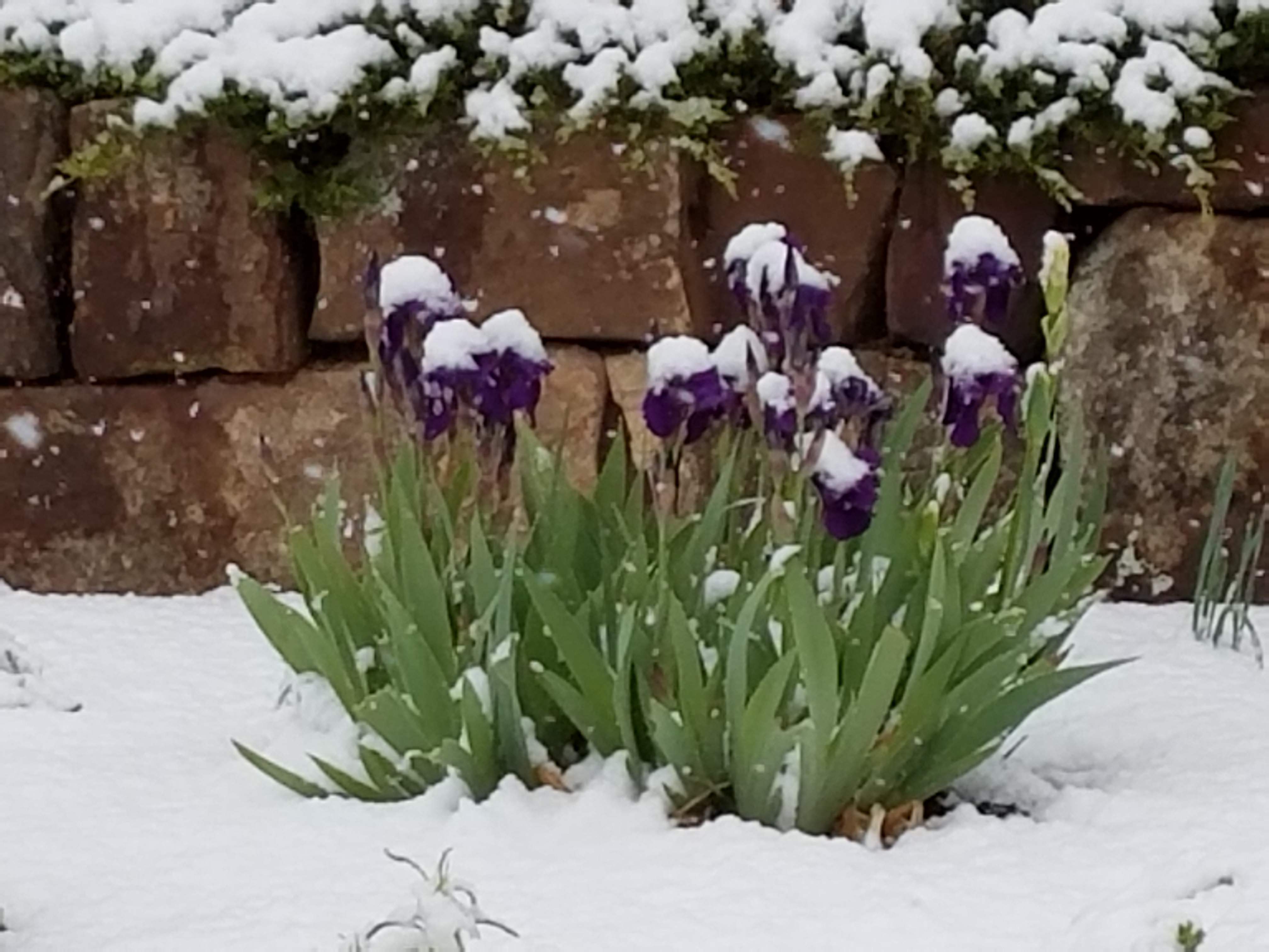 Iris in the snow