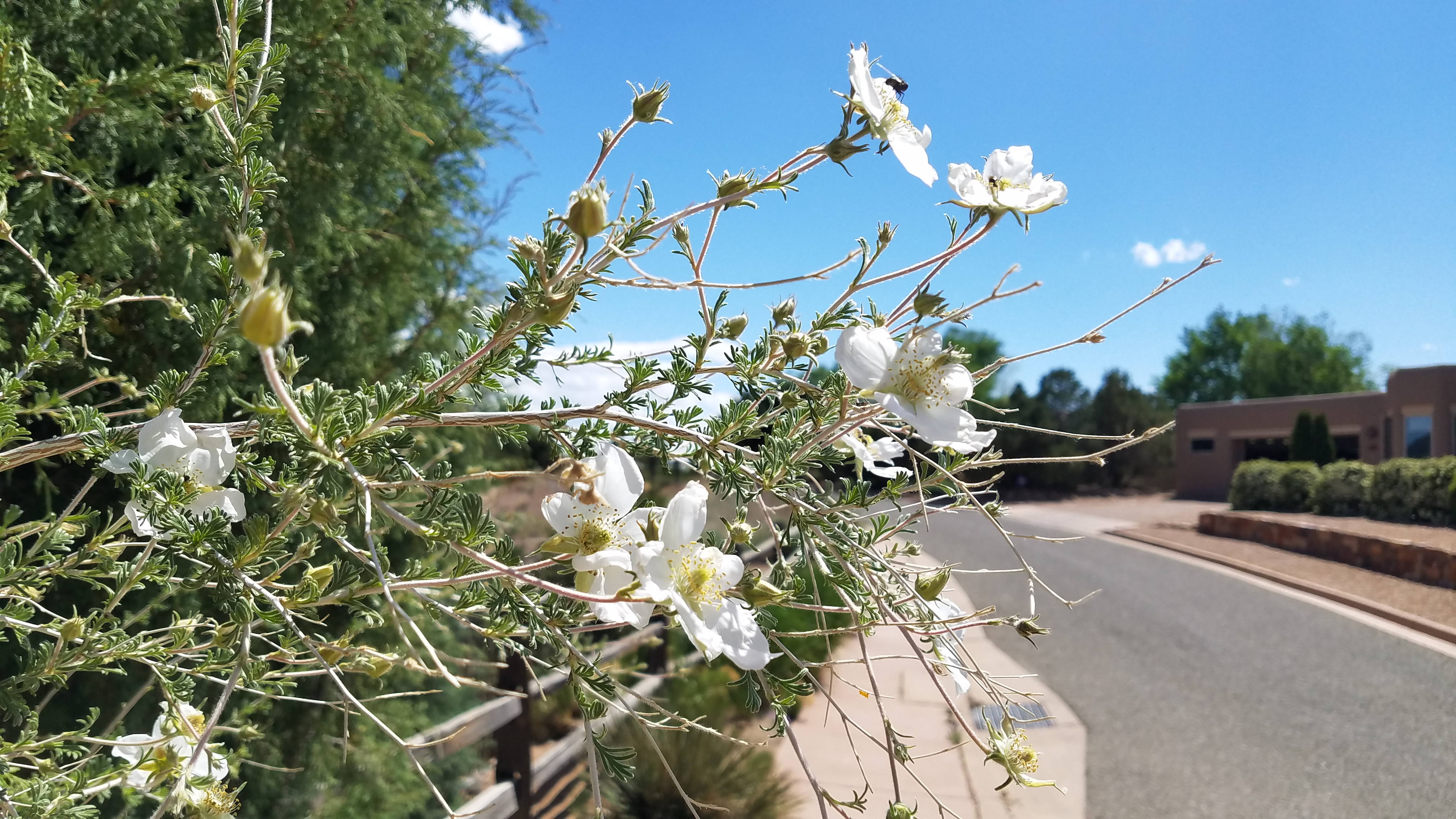 Apache plume in bloom